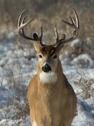 Whitetail Deer Stock Photos