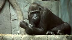 A gorilla female with some wounds on her face, resting on the stone background. Stock Footage