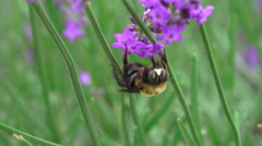 Bumblbee In Feild Upside Down On Lavender Plant Stock Footage