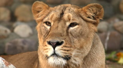 Beautiful face of a young lioness, calm lying on stone blur background. Stock Footage