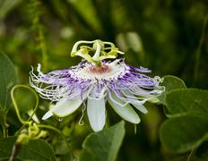 Passion Flower Stock Photos