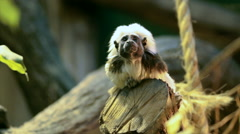 Observing from above of a cotton-headed or crested bare-faced tamarin Stock Footage