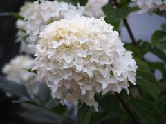 White Hydrangea on a Blurry Background - stock photo
