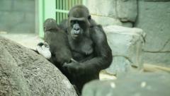 Mother love and tenderness of a gorilla female, the biggest monkey of the world, Stock Footage