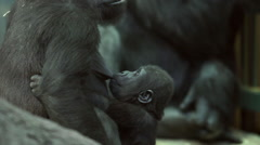 A gorilla kid, suckling his mother. Stock Footage