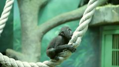 Stock Video Footage of Careless childhood of a gorilla baby, sitting on thick rope.