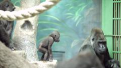 Curiosity of gorilla baby with white spot on ass, standing on rock view point Stock Footage