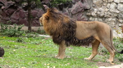 Asian lion, going his domain round. King of beasts, the biggest cat of the world Stock Footage