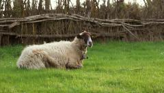Cowbell sheep Lying on the Grass Stock Footage