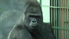A chewing gorilla male, severe silverback, sitting near grid. Stock Footage