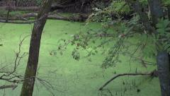 Marsh bog pond with green duckweed water and rowan berry Stock Footage