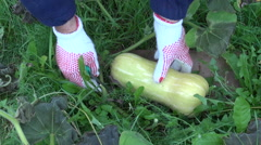 Farmer pick harvesting fresh waltham butternut pumpkin in autumn garden Stock Footage