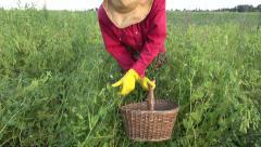 Farmer picking harvesting fresh ripe green pea in wicker basket Stock Footage