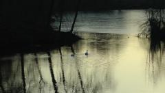 Swans swimming sunset Stock Footage