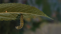 Monarch caterpillar changes into pupa Stock Footage