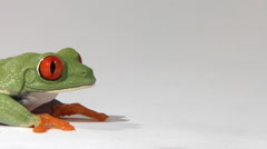 Red-eyed green tree frog on white surface breathing Stock Footage