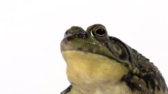 Plump green frog croaking Stock Footage