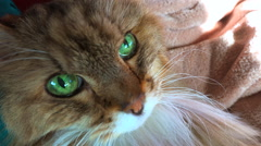 A beautiful maine coon cat looks up at the camera with brilliant green eyes. - stock footage