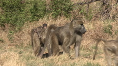 Male and female baboon walking. Female with baby on back Stock Footage