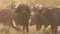 Herd of Cape buffalo looking at camera - stock footage