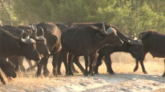 Herd of Cape buffalo crossing the road - stock footage