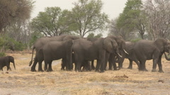 Herd of elephants forming protective shield around newly born baby Stock Footage