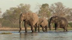 Elephants crossing a river in the Okavango Delta Stock Footage