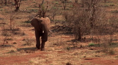 Elephant in dry African bush Stock Footage