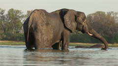 Elephant cow drinking with other elephants playing in the background Stock Footage