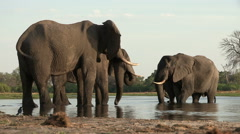 A group of elephant drinking at river in the Okavango Delta - stock footage