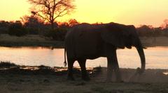 Elephant dust bathing at sunset Stock Footage
