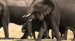 Wet elephant herd after drinking - stock footage