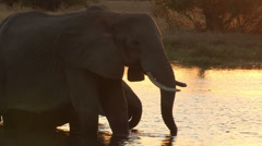 Elephants in silhouette drinking at waters edge - stock footage