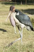 Marabou Stork, Awassa, Ethiopia, Africa Stock Photos