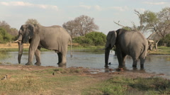 Two Elephants drinking with tourist safari vehicle driving in background - stock footage