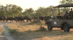 Tourists on safari vehicle looking at a herd of buffalo Arkistovideo