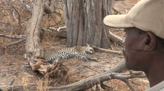 Safari guide talking on radio with leopard in the background Stock Footage