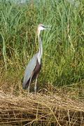 Heron, Lake Chamo, Ethiopia, Africa - stock photo