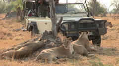 Tourists on safari vehicle looking at lion pride - stock footage