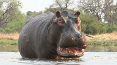 Bull hippo with mouth open in aggressive stance - stock footage