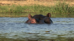 Stock Video Footage of Bull hippo emerging from water and advancing threateningly towards camera