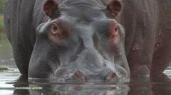 Bull hippo looking towards camera Stock Footage