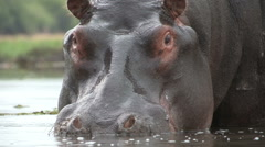 Close-up of bull hippo nostrils Stock Footage