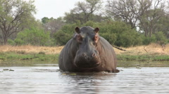 Bull hippo reversing and dissapearing into river Stock Footage