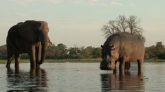 Unusual footage of Hippo with elephant drinking in background Stock Footage