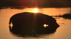 Hippo silhouette in the orange water of the Okavango at sunset Stock Footage