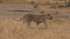 Leopard walking through the african bush - stock footage