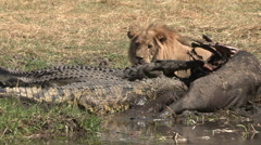 Male lion and crocodile feeding on buffalo carcass at waters edge Stock Footage