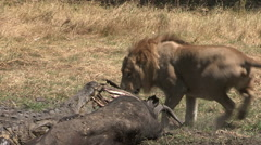 Male lion and crocodile feeding on buffalo carcass at waters edge - stock footage