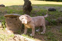 Neapolitan Mastiff Expressive Puppy Stock Photos